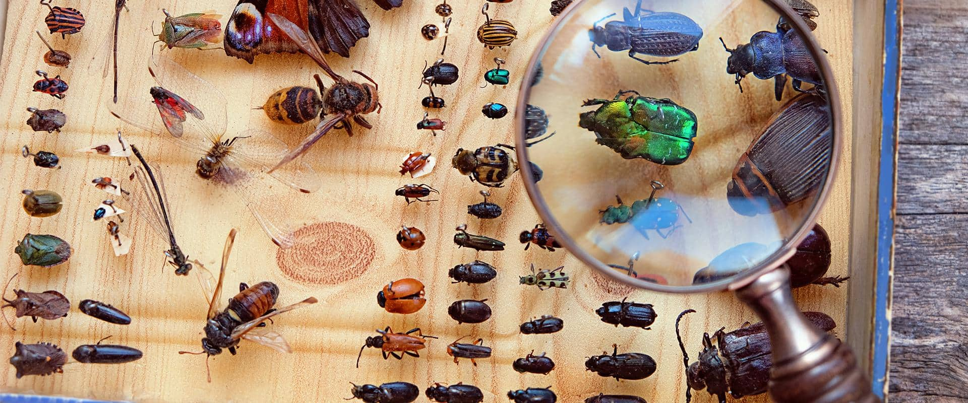 an entomology collection with a magnifying glass hovering over it