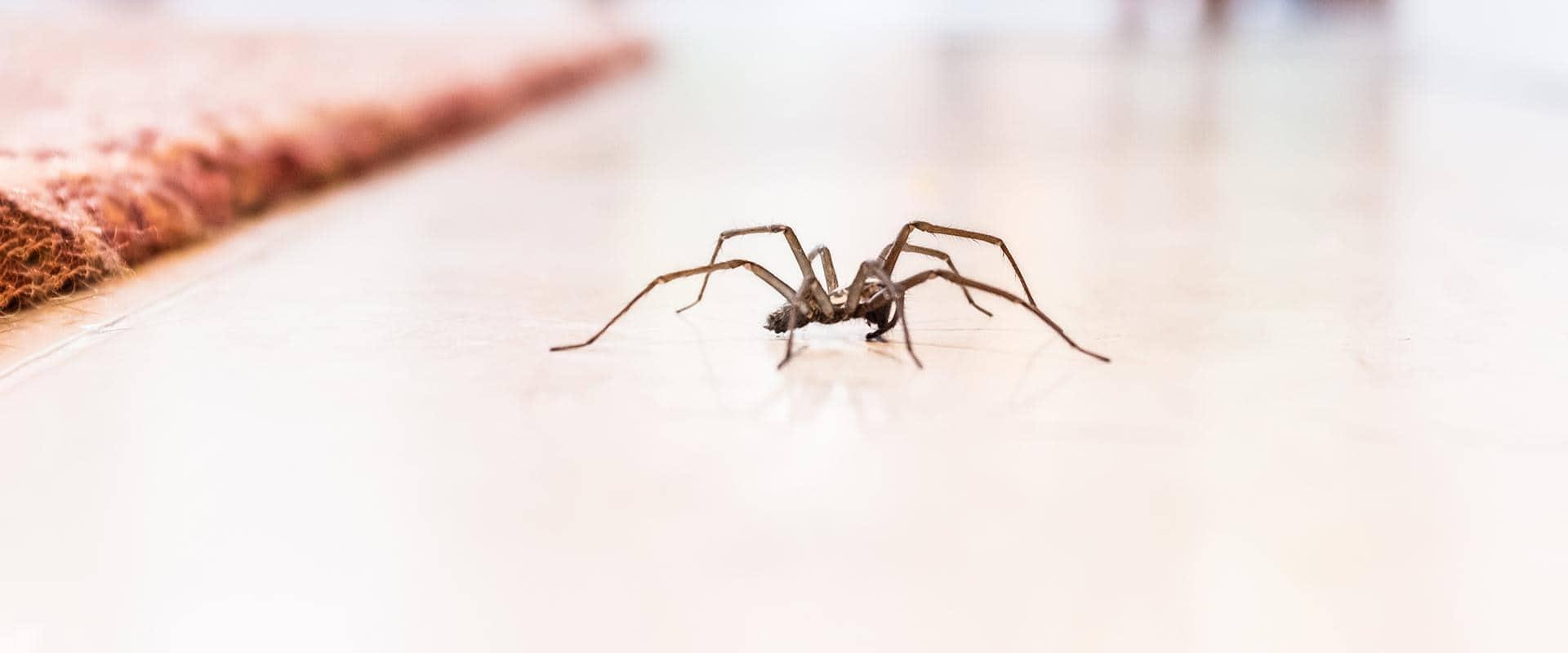 spider in a washington home