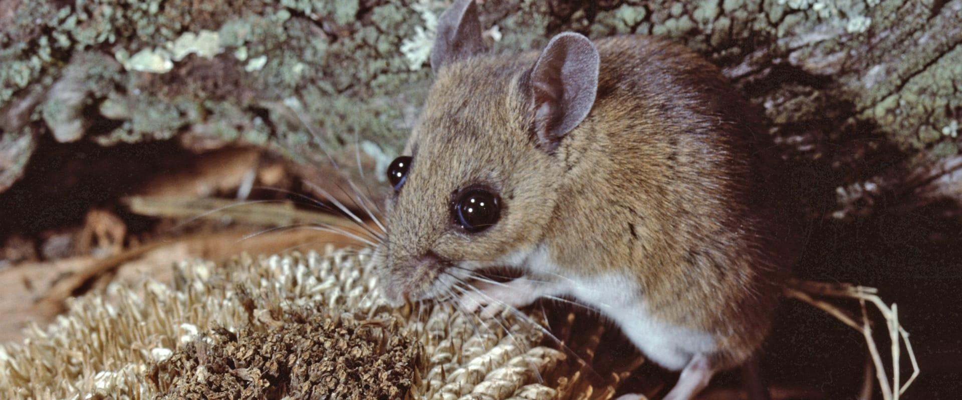 white-footed mouse in woods