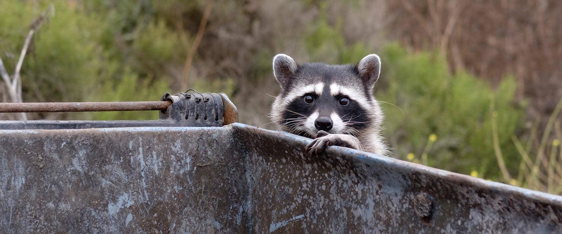 raccoon in dumpster in central washington