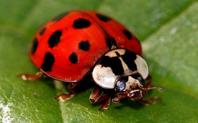 lady beetle in garden