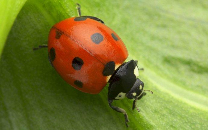lady beetle up close