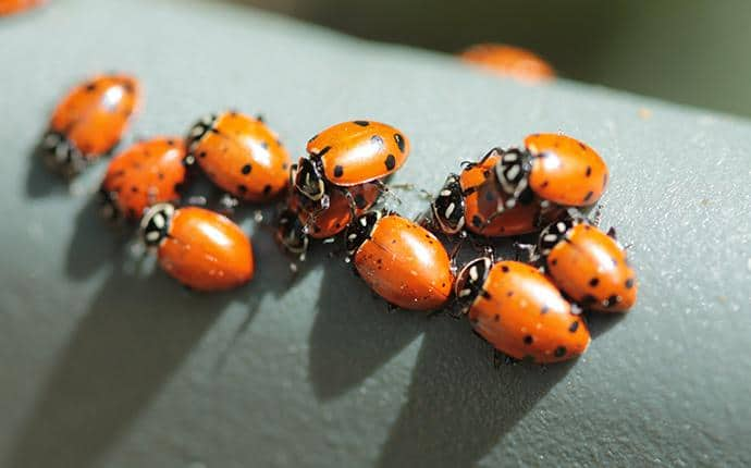 lady bugs congregating on home in washington state