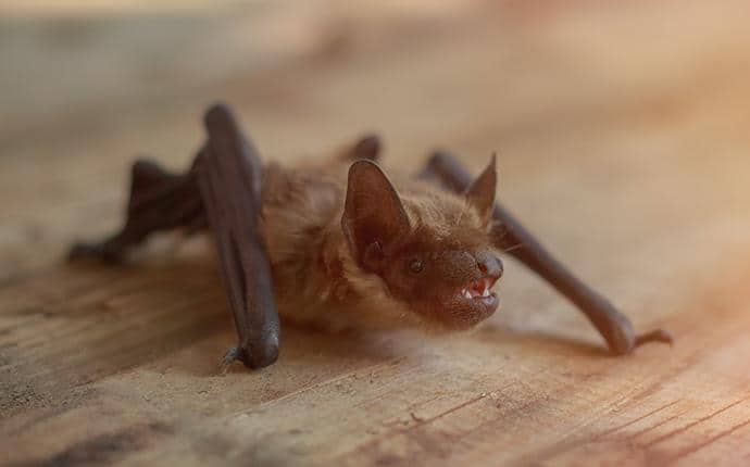 little brown bat in harrah wa