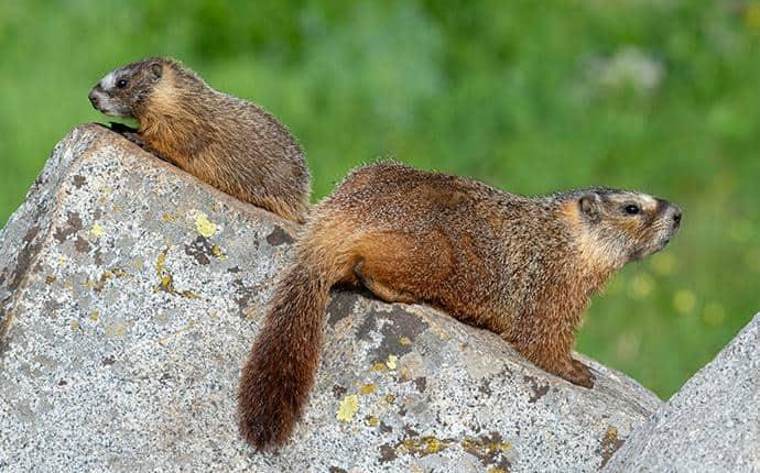 marmots on a rock in washington