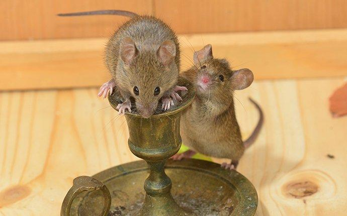 A house mouse infesttaion in a tieton home