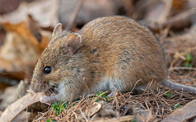 a rodent eating seeds in teanaway washington