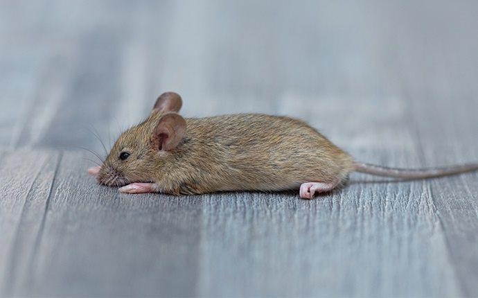 mouse on floor