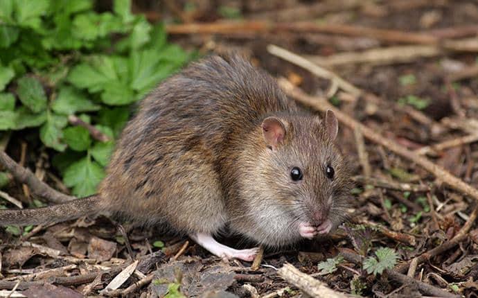 norway rat in ellensburg washington