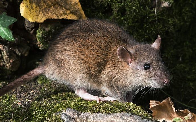 norway rat in the woods