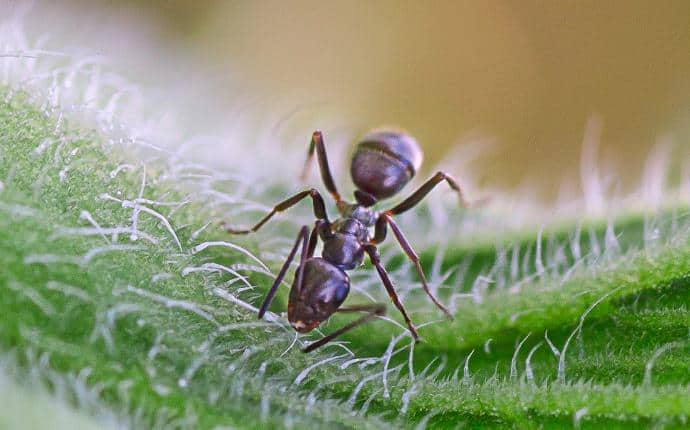 sugar ant in kittitas county wa
