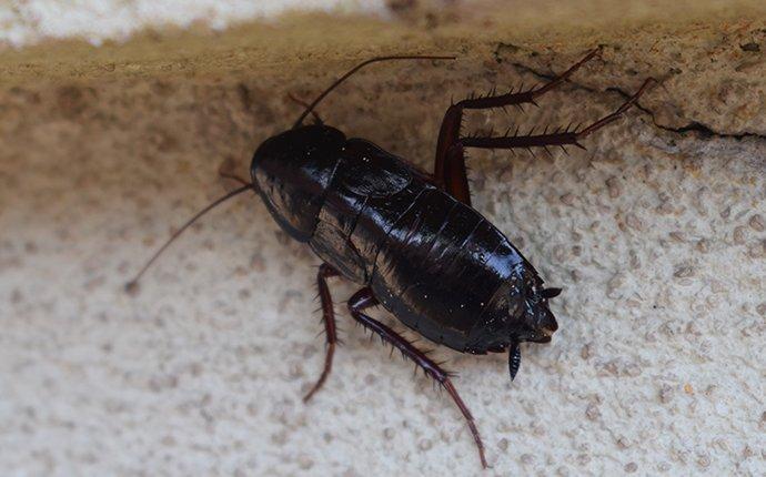 oriental cockroach in basement
