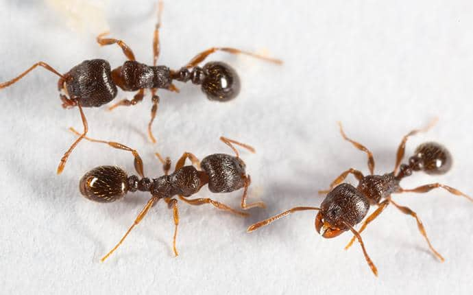 foraging pavement ants in outlook wa