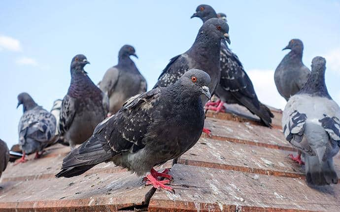 pigeons on a central wa roof