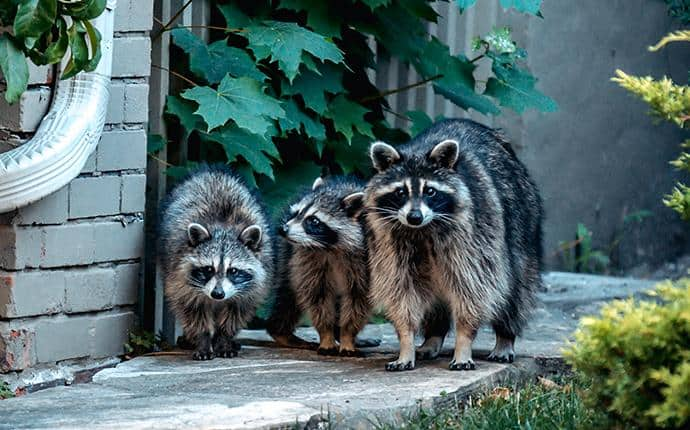 raccoons infesting yakima county wa home