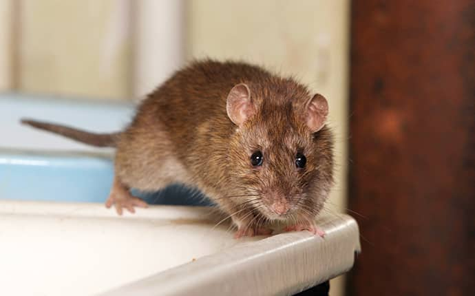 a brown rat inside a home in grandview washington