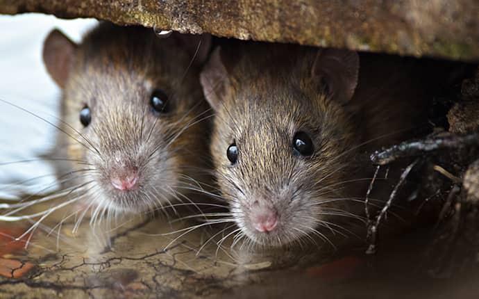 rats hiding