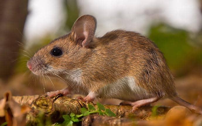 rodent in washington home backyard