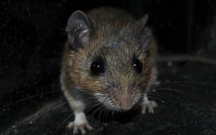 mouse in yakima basement