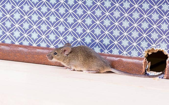 a rodent leaving a hole in the wall of a washington home