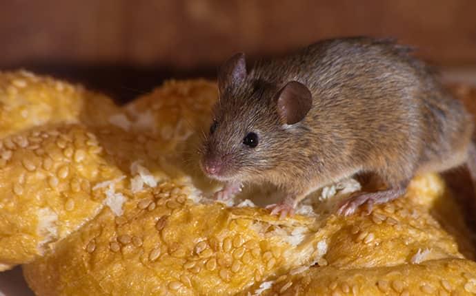 rodent eating bread inside a sunnyside washington home