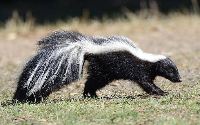 skunk in central washington