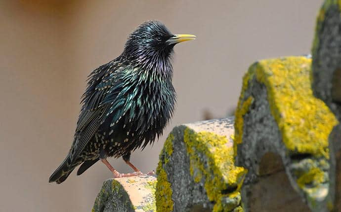 starling at rest in washington state