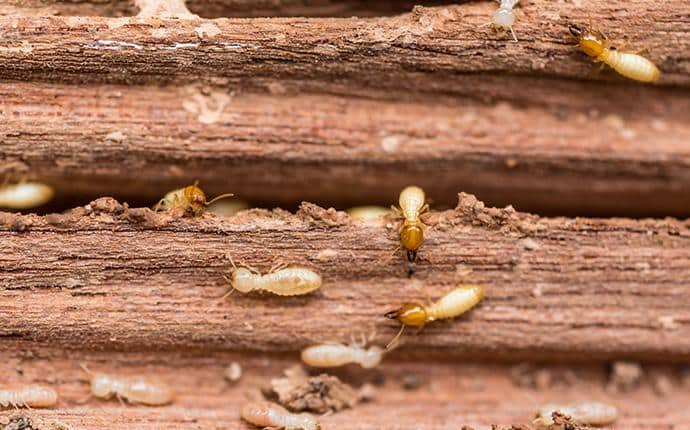 subterranean termites eating washington wood