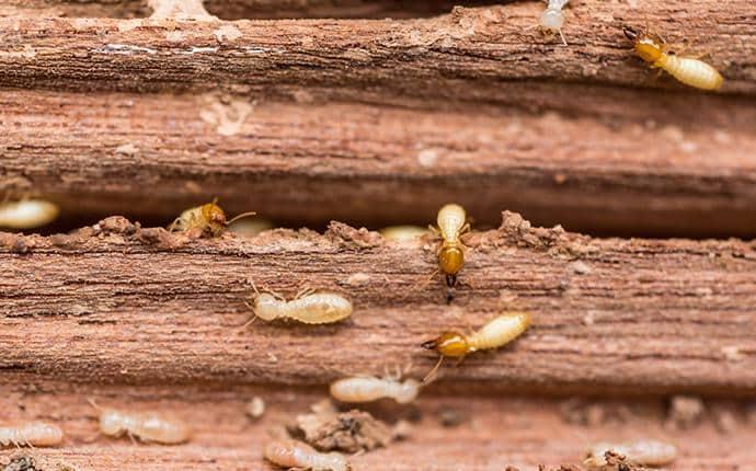subterranean termites eating washington wood