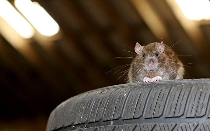 a rat inside of an attic in a sunnyside washington home