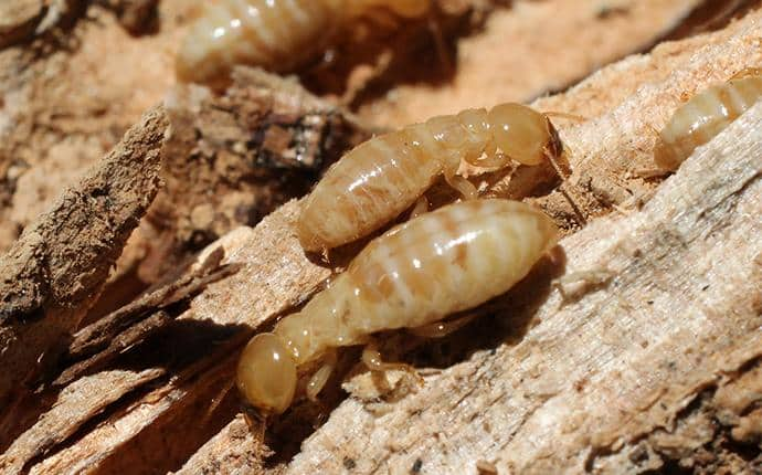 foraging termite workers in yakima wa