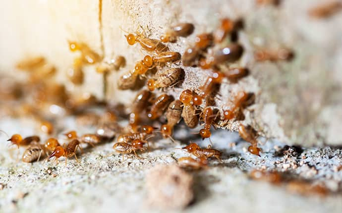 termites infesting a building in grandview washington