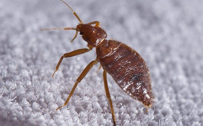 bed bug crawling on bed in terrace heights washington