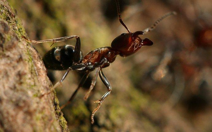 velvety tree ant up close
