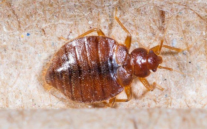 a bed bug crawling on a box spring mattress in wapato washington