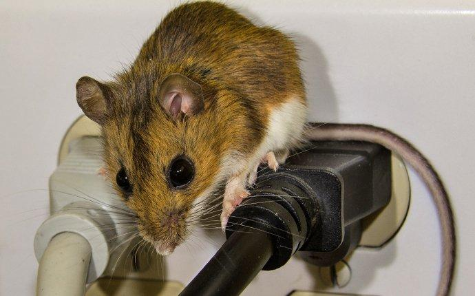 a house mouse crawling on wires near and outlet in wapato washington