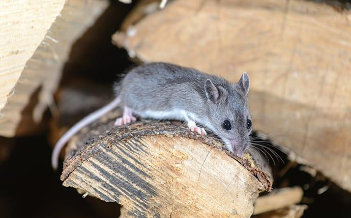 a white footed mouse crawling on a woodpile in selah washington