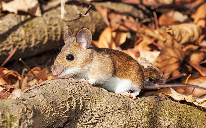 a white footed mouse outside a home in toppenish washington