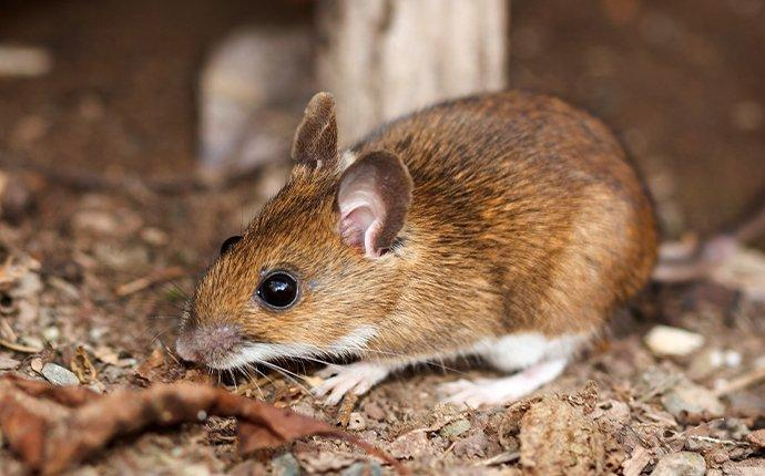 white-footed mouse in the woods