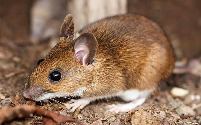 white footed mouse in the basement of a yakima home