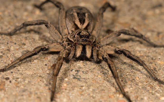 wolf spider in kittitas washington