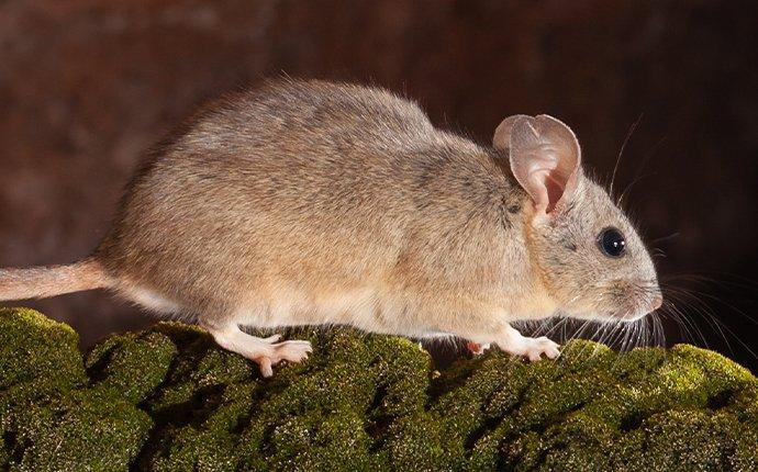wood rat on tree