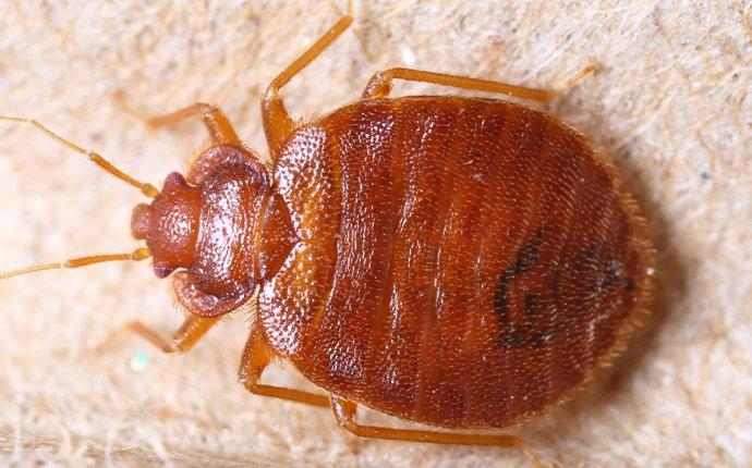 a bed bug in a zilla home