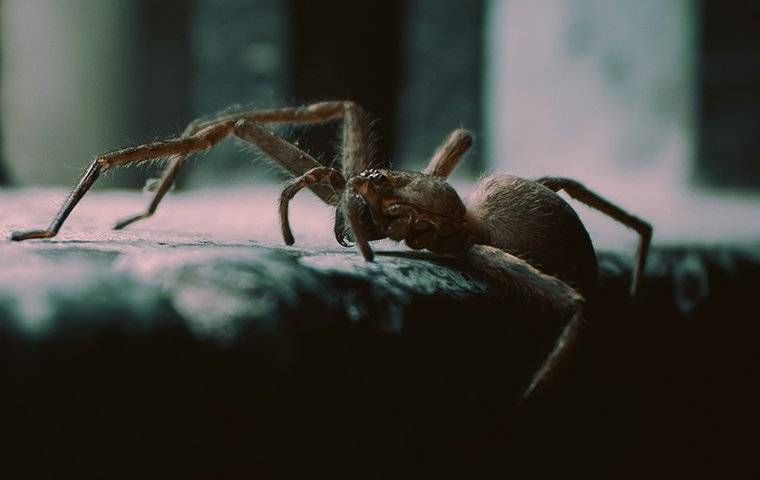 an up close image of a giant house spider trying to get in to a home