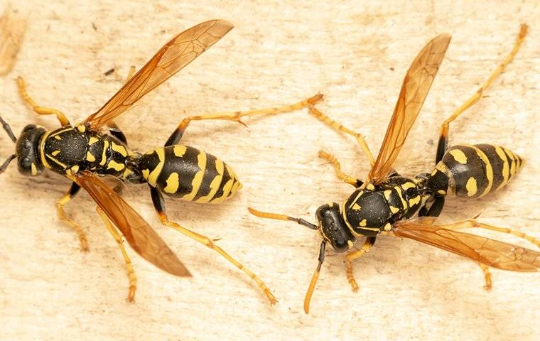 two wasps on a piece of wood