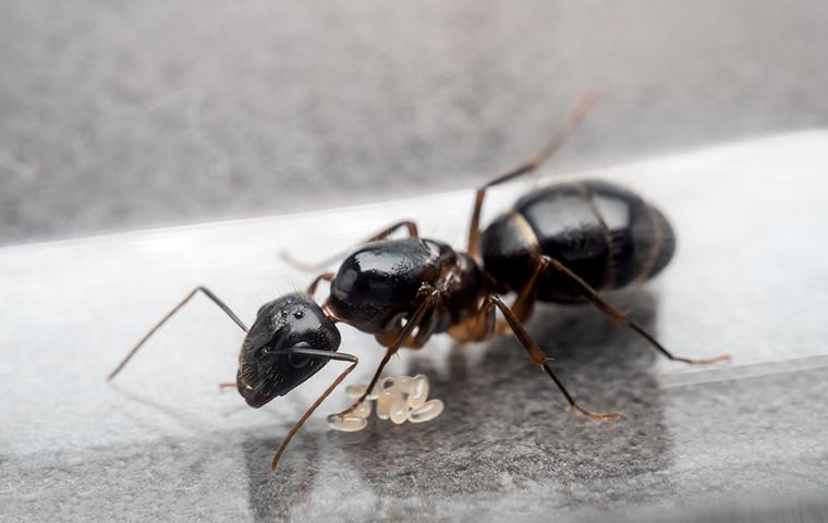 an ant laying eggs on a counter in hattiesburg mississippi home