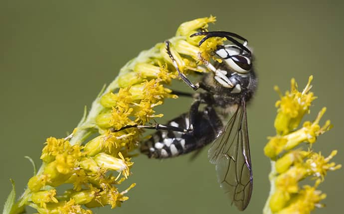 bald-faced hornet on a yellow plant in an jacksonville alabama yard