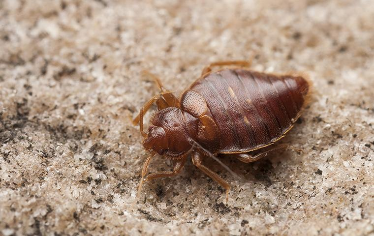 a bed bug on the carpet of a jacksonville alabama home