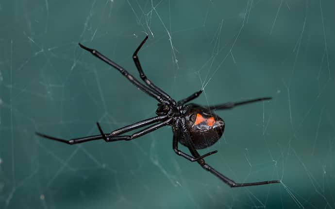 black widow spider spinning a web outside of a jackson mississippi home