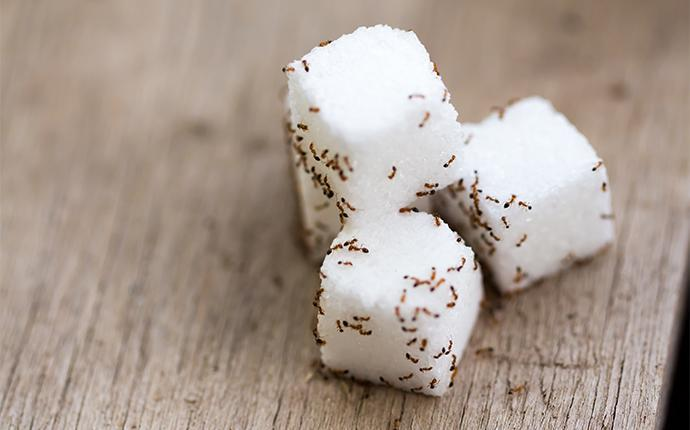 ants covering sugar cubes on a kitchen table